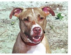 Latte , American Pitbull Terrier